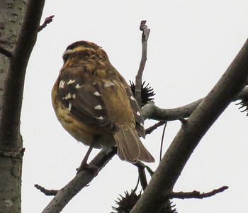 Rose-breasted Grosbeak (1st winter male) 1b