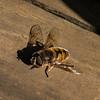 Hoverfly (Eristalis horticola)