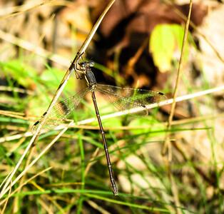 Slender Spreadwing (female)