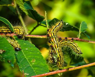 Drexal's Datana Caterpillar (Datana drexelli)