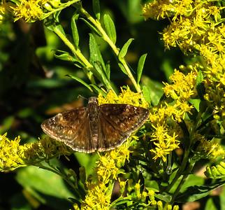 Wild Indigo Duskywing (female)