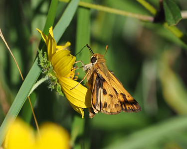 Fiery Skipper, male