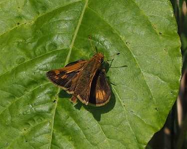 Peck's Skipper, male