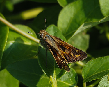 Sachem Skipper, female