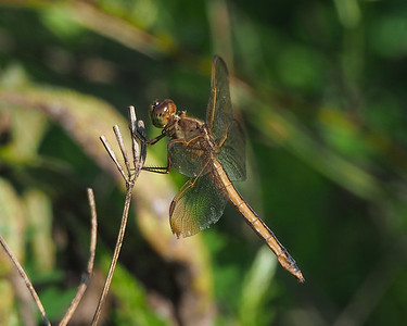 Needham's Skimmer, female