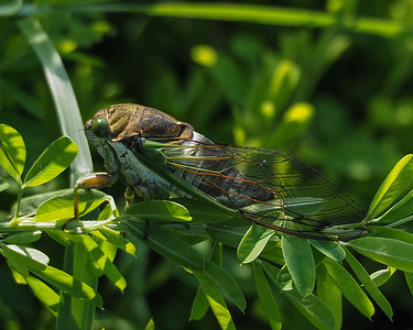 Green-eyed cicada (Swamp cicada)