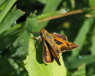 Sachem Skipper, male