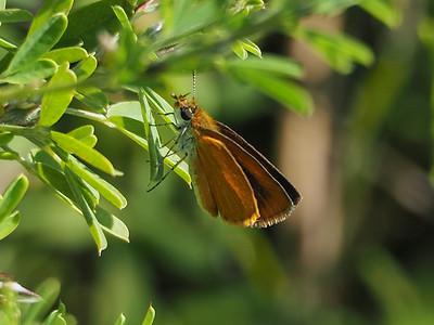 Least Skipper, male