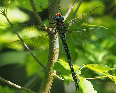 Swamp Darner, female