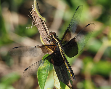 Widow Skimmer. young male