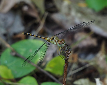 Blue-faced Meadowhawk, young male