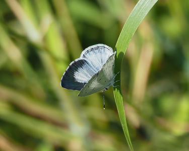 Summer Azure, female