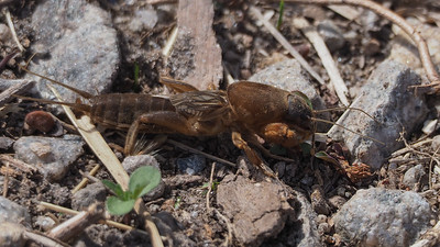 Northern Mole Cricket - Neocurtilla hexadactyla?