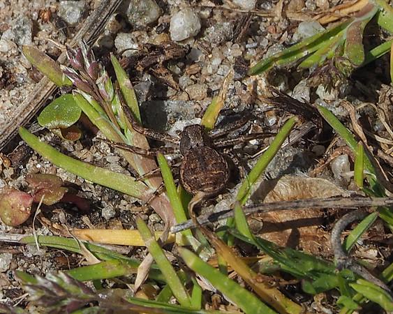 Ground Crab Spider - Xysticus ampullatus