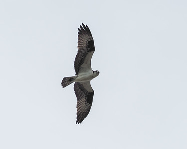 Osprey - checking us out