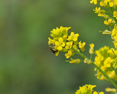 Sweat Bee species on Winter Cress