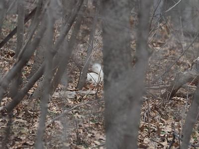 Albino grey squirrel