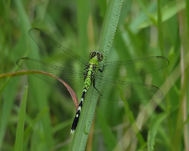 Common Pondhawk, female