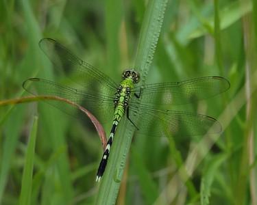 Common Pondhawk, female