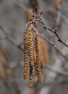 Smooth Alder flowers; female top, male bottom