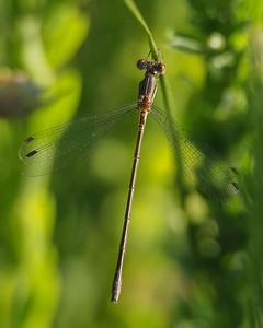 Slender Spreadwing, female
