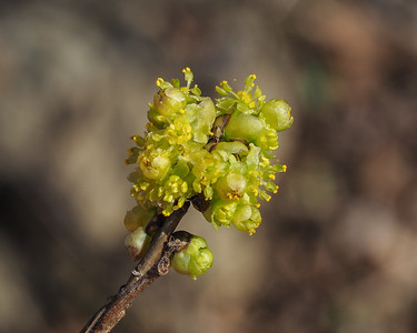 Spicebush, male flowers