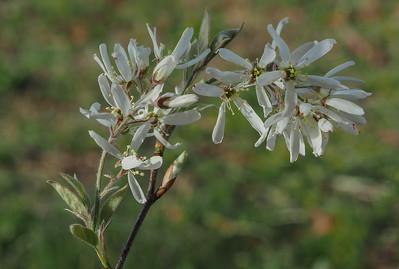 Downy Serviceberry
