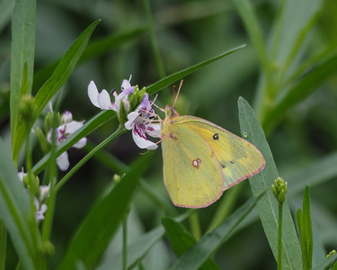 Orange Sulphur on Water Willow