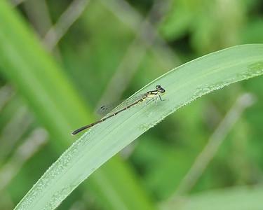 Fragile Forktail, female
