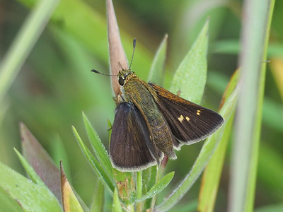 Crossline Skipper, female