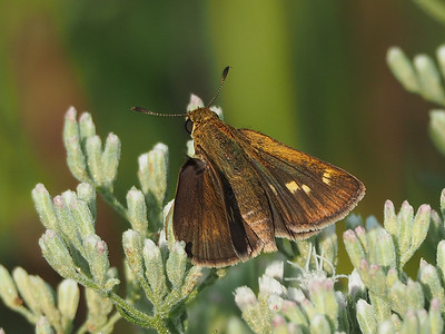Tawny-edged Skipper, female