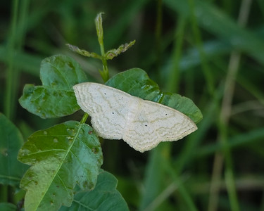 Large Lace-border Moth