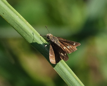 Little Glassywing, male