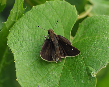 Clouded Skipper, male