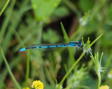 Familiar Bluet, male