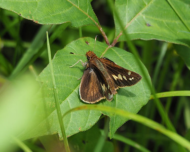 Zabulon Skipper, female