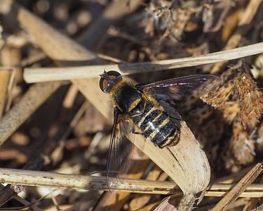 Bee Fly,genus Villa?