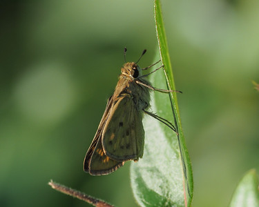 Fiery Skipper, female