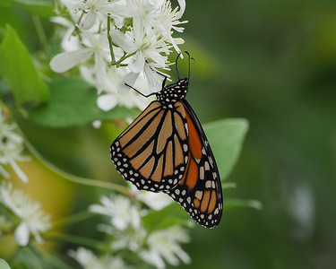 Monarch, female