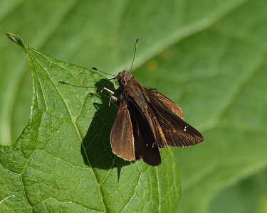 Clouded Skipper