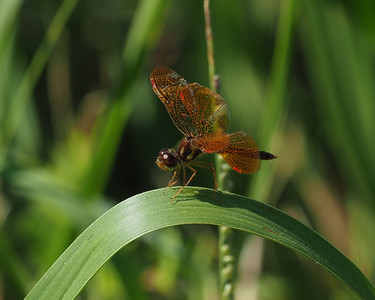 Eastern Amberwing, female