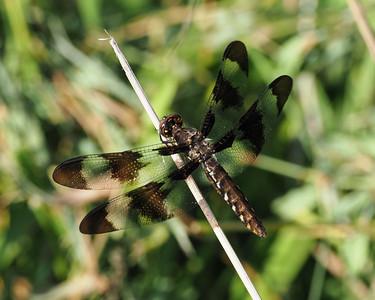 Common Whitetail, female