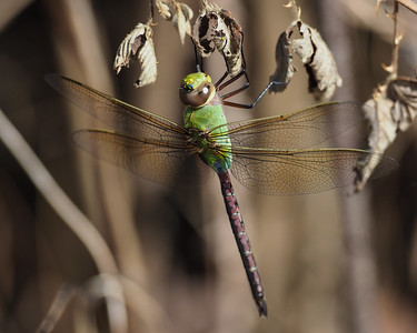Common Green Darner, female