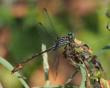 Russet-tipped Clubtail, male