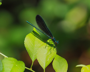Ebony Jewelwing, male