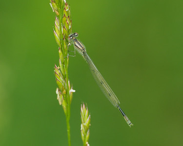 Big Bluet, teneral male