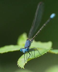 Blue-fronted Dancer, male