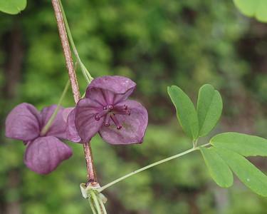 Akebia quint - Chocolate vine