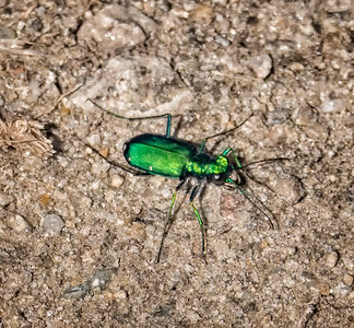 Six-spotted Tiger Beetle (Cicindela sexguttata)