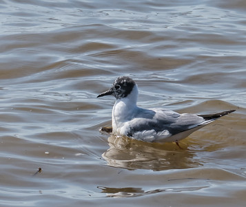Bonaparte's Gull (1st summer)